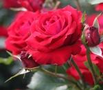 Rosengarten Humboldthain Rosediashow