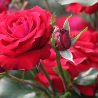 Rosenblütenpracht im Humboldthain