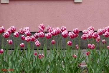 tulpen Prinzenallee