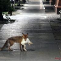 Fuchs in der Gotenburger Straße hat nicht die Gans gestohlen
