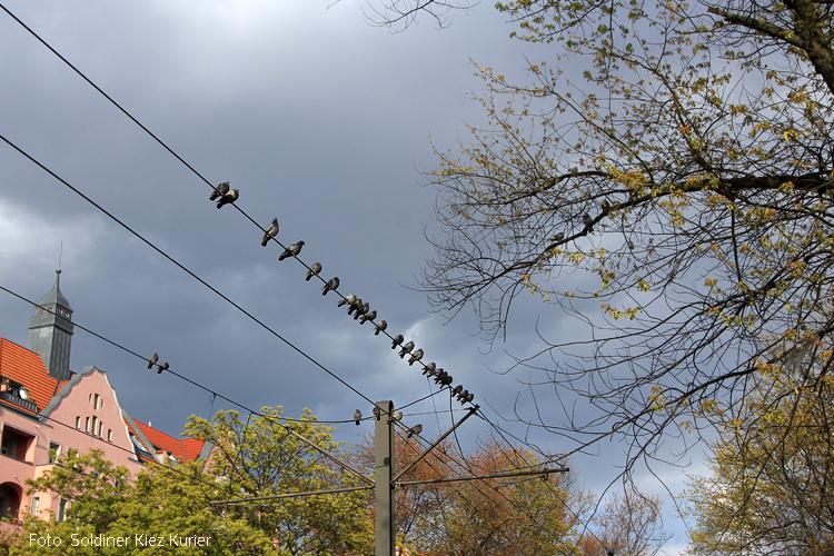 Tauben auf Strommasten in der Osloer Strasse