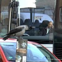 Rabe meckert auf lauten Verkehr in der Prinzenalle