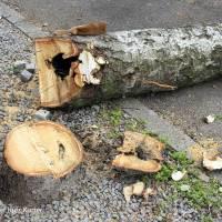 Standunsichere Bäume in der Gotenburger Straße werden gefällt